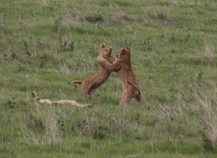 Lion cubs playing! Awwww!