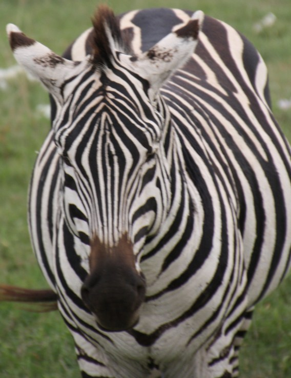 White with black stripes or black with white stripes?