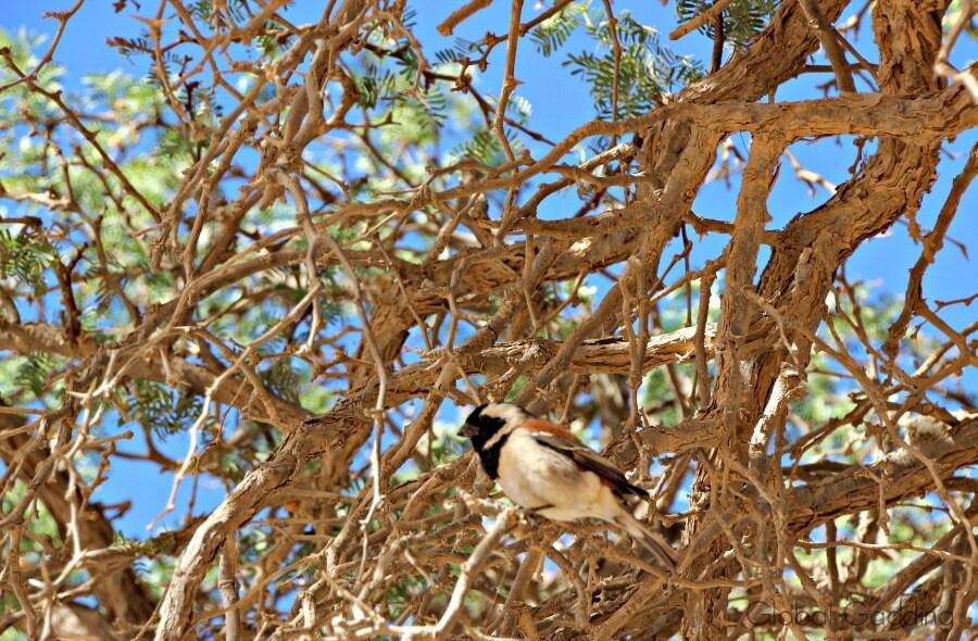 birdlife Sossusvlei Sand Dunes