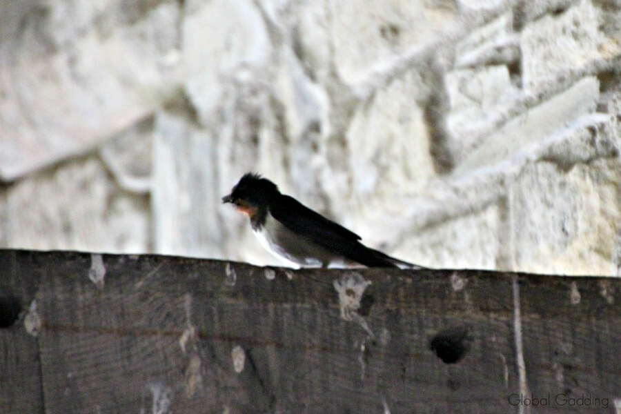 valle crucis abbey birds
