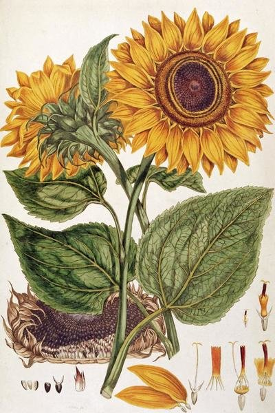 John Miller  Sunflower  Art Print  Global Gallery
