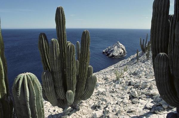 Tui De Roy  Cardon cactus on cliffs Isla San Pedro