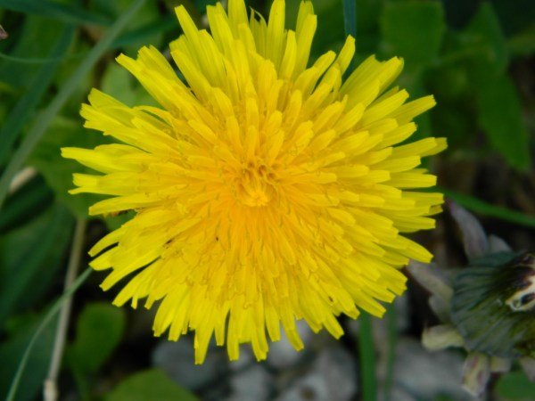 Yellow Dandelion Photo by PH Morton