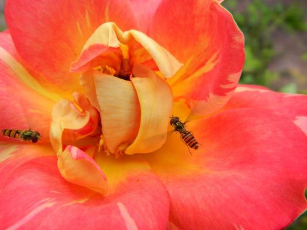 In flight Hover flies aka Syrphid  flower flies in our front garden
