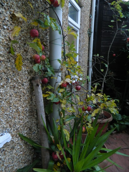 small potted apple tree