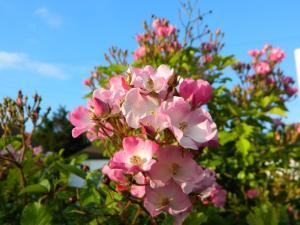 Dog rose, photo by PH Morton