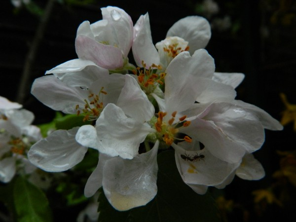 Ants drinking in abpple blossom after the rain
