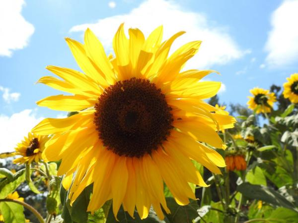 Sunflower of Burnham Park, photo by PH Morton