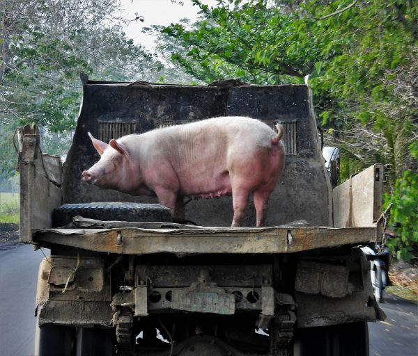Not so little piggy on way to market. Photo: PH Morton