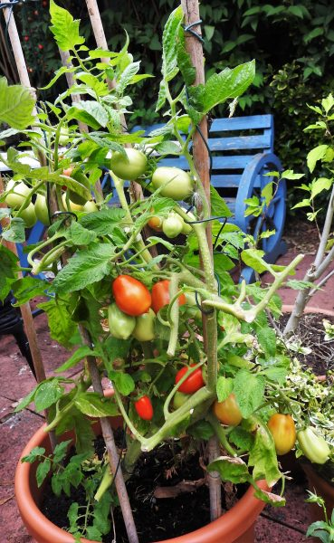one-of-our-potted-tomato-plants