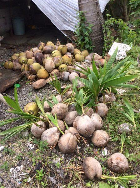 life of coconut tree
