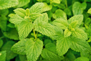 lemon-balm-plant