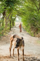 A cow near a footpath in India.