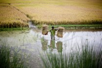 A man carries bundles of wheat through a shallow ford in India.