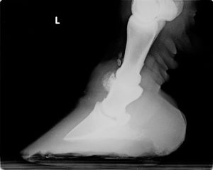 Equine joints