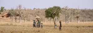Ancient baobab trees in Africa under threat due to erratic climate, scientists theorize