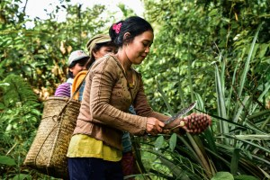 Changing landscapes, changing diets: The impact of oil palm on nature's pantry