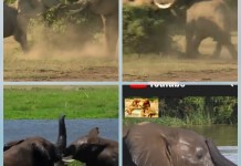 Video Of Two Elephants Fighting - No Wonder They Say Grass Stuffers