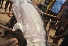 Photos Of Giant Xiphias gladius AKA Swordfish caught By A Fisherman In Andoni, Rivers State