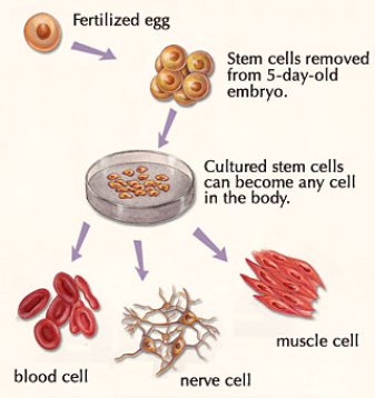Stem cell cultivation