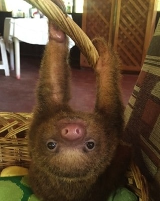 Baby Sloth at Peru Wildlife Sanctuary