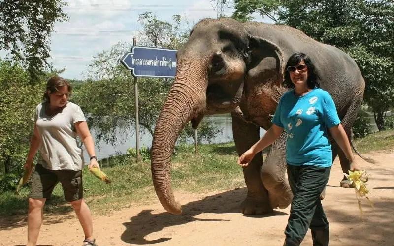 Volunteers walking the elephants
