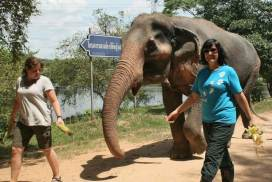 volunteer walking the elephant