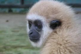 Gibbon at the Thailand Sanctuary