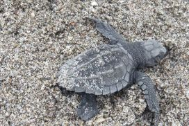 Sea Turtle Hatchling emerging from nest