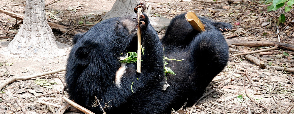 One of the bears eating at the sanctuary