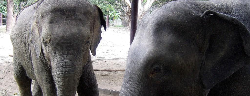 thailand elephants at sanctuary