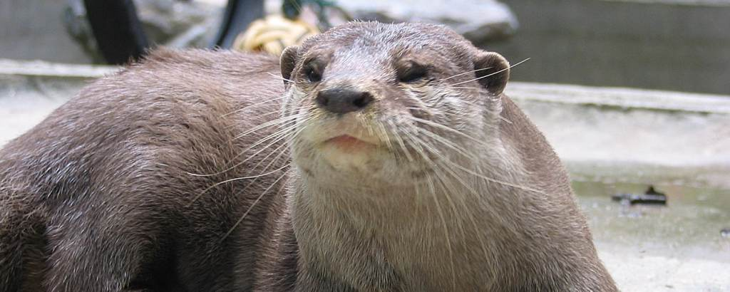 Rescued otter at the Thailand Wildlife Sanctuary