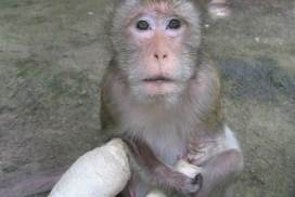 Rescued monkey at the Thailand wildlife sanctuary