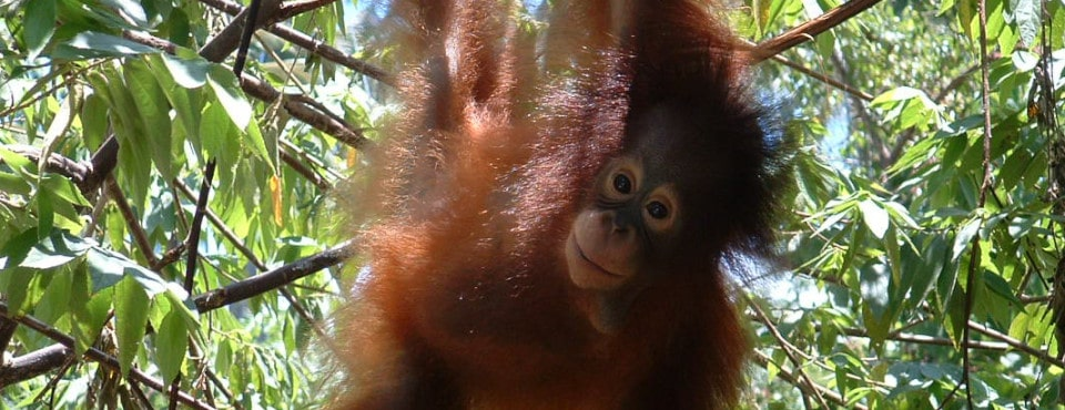 Orangutan at the Indonesia wildlife Sanctuary