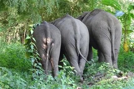 Three Elephants at the Cambodia Sanctuary