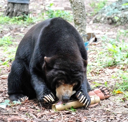 Cambodia Bear Sanctuary resident