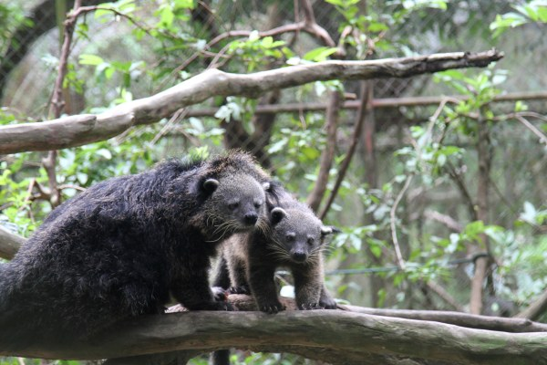 Civets at Thailand Wildlife Sanctuary