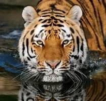 Tiger at Wildlife Sanctuary