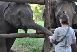 Volunteer feeding the elephants in Thailand