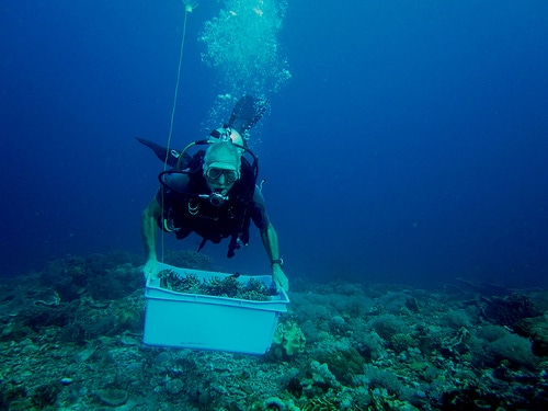 Diver Planting Coral