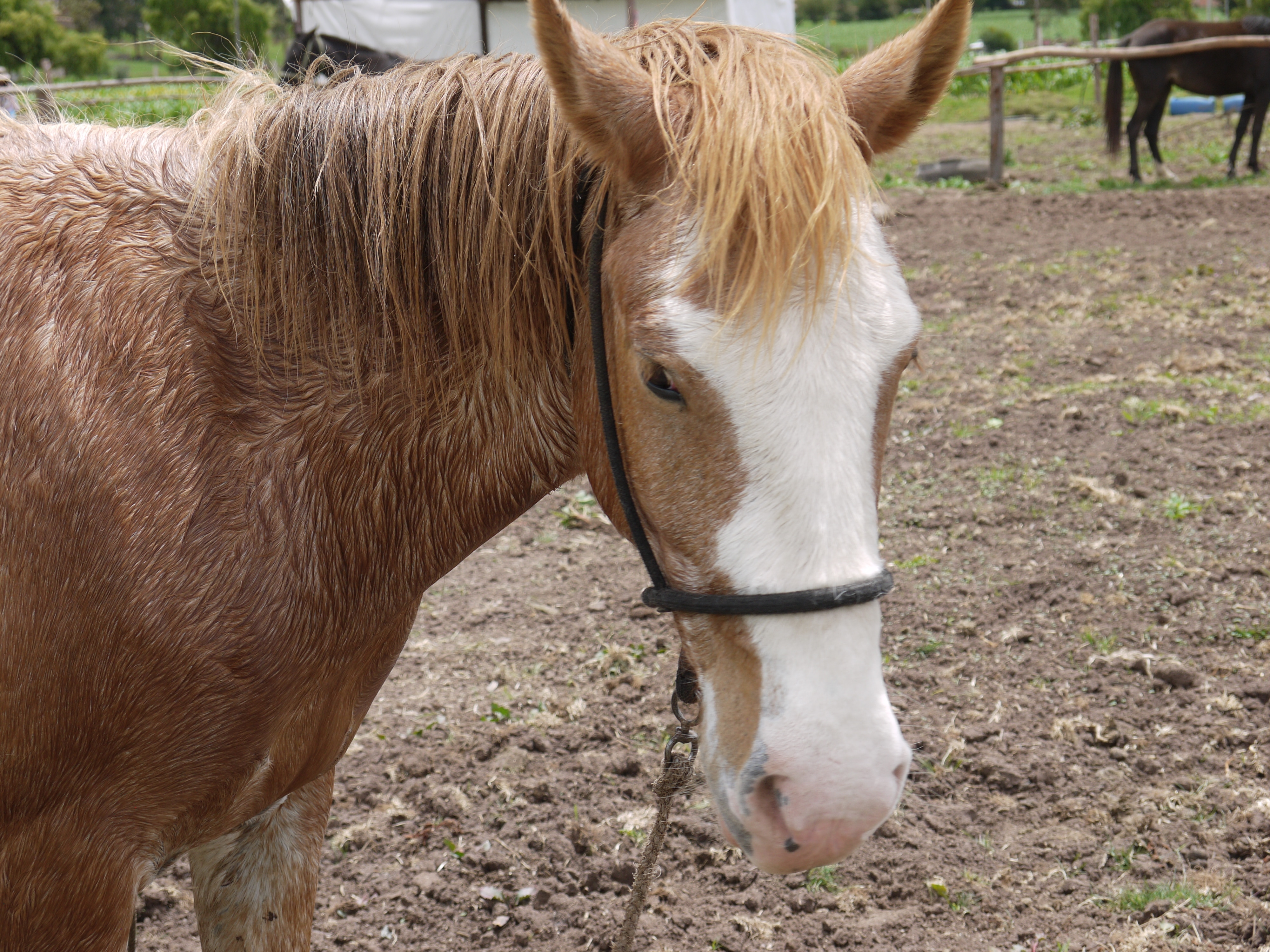 Recused Horse at Peru Horse Sanctuary