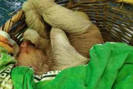 Sloth napping Peruvian Wildlife