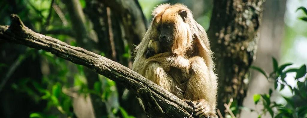 Argentina Monkeys