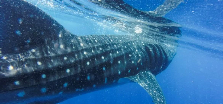 Whale Shark Peru Marine Conservation