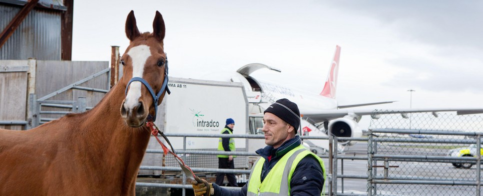 Shannon Airport specializes in shipments of export cargo and import cargo in international trade of horses.