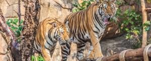 Tigers Fly Cargolux to Hanoi