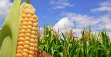 corn exports