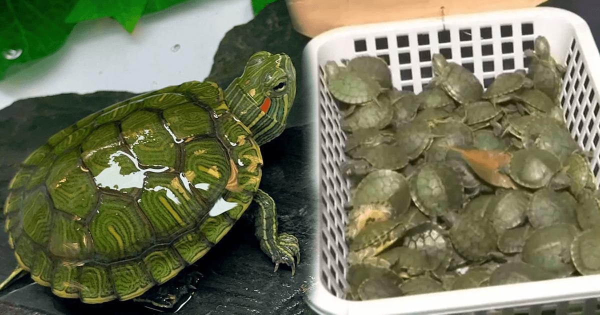 Indian Smugglers Using Malaysian Corridor For Turtle Smuggling