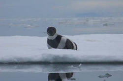 The ring seal faces extinction by the end of the century