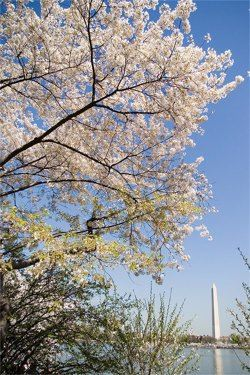 Washington, DC?s famous cherry trees are now blossoming earlier due to global warming-related temperature increases. But this pales in comparison to the much more serious impacts of more and fiercer hurricanes in the Southeast, major Midwest floods, shrinking glaciers in the West and rising sea levels around the nation's coastlines